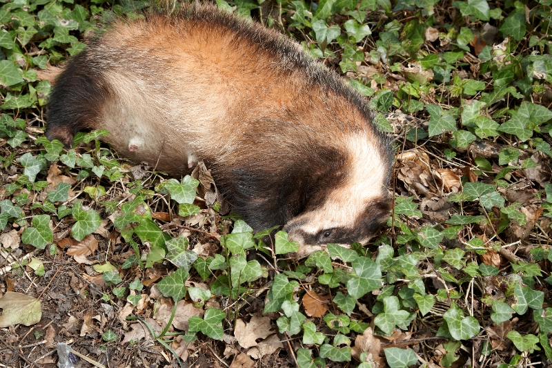 Badger Baiting